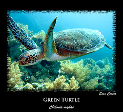 Green Turtle (chelonia mydas) (Dive Sharm) Tags: ocean sea water photography marine underwater redsea sharmelsheikh diving turtles hawksbill cheloniamydas greenturtle chelonia mydas imbricata testudines thermochemical