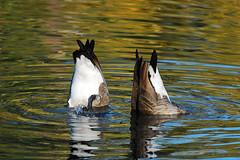 Bottom's Up DSC_3175 (Ron Kube Photography) Tags: canada calgary bird nature birds fauna geese nikon goose alberta ornithology canadagoose brantacanadensis calgaryalberta inglewoodbirdsanctuary southernalberta d80 nikond80 globalbirdtrekkers ronaldok ronkubephotography