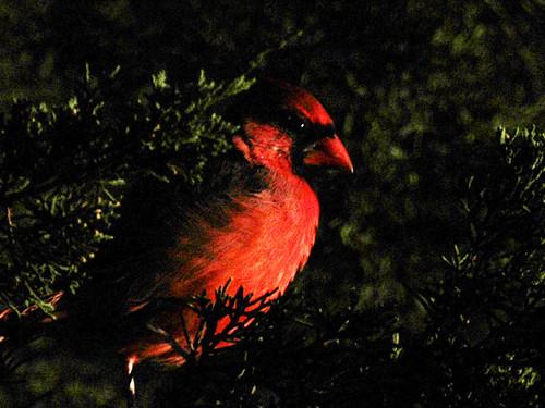 am cardinal copy