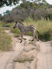Young Zebra Crossing Road, Savuti, Botswana