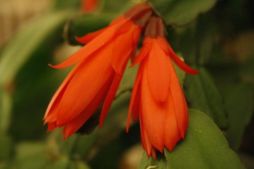 [143/365] Cactus Blooms