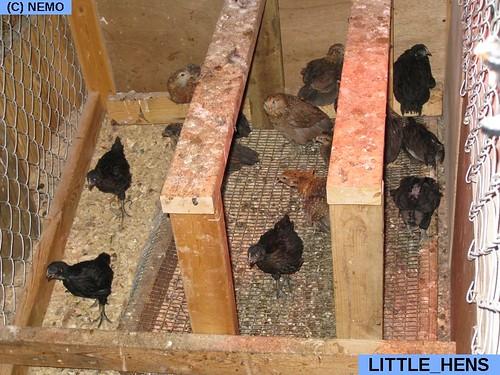 little_hens
