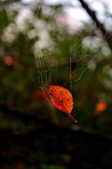 Red leaf (myu-myu) Tags: autumn red leaf drops nikon