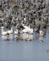 Guest Conductor (mattinflagstaff) Tags: sandhillcrane snowgeese snowgoose whitewaterdrawwildlifearea