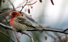 Large House Finch (mightyquinninwky) Tags: friends tree bird nature fauna rural geotagged countryside flora dof bokeh farm kentucky branches country award farmland depthoffield explore finch ave birch limbs seedpods invite backyardbird housefinch picnik smalltown invited westernkentucky awarded riverbirch unioncountykentucky malehousefinch cherryontop edgeoftown backyardnature backyardfauna abigfave ruralkentucky platinumphoto morganfieldkentucky backyardflora geo:lat=37693194 geo:lon=87905527 agriculturalcommunity agriculturalarea thecommonwealthofkentucky kentuckyflorafauna smalltownkentucky thebluegrass avianphototgraphy exploreformyspacestation bestofformyspacestation