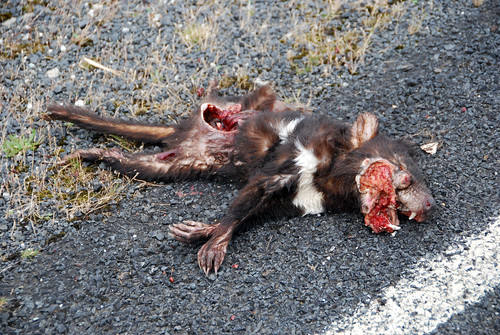 Dead Tasmanian Devil