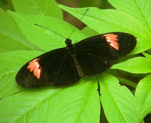 Mindo, mariposa 18