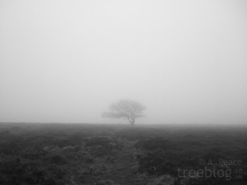 The Lonely Oak shrouded in mist.