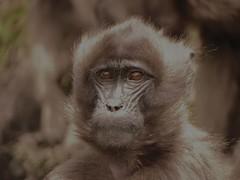 juvenile face (jtkerb) Tags: baboon ethiopia gelada guassa