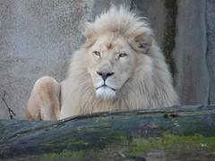 Afrikaanse Witte Leeuw (Panthera Leo) (Daniëlle Wanders) Tags: white zoo leo lion whitelion leeuw panthera pantheraleo ouwehand
