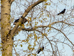 Bald eagle, two crows
