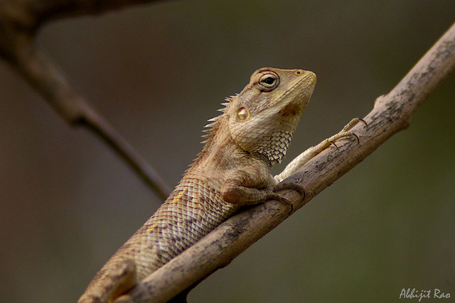 Lizzard, Sanjay Gandhi National Park