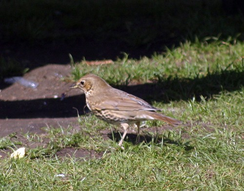Song Thrush by you.