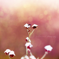 (Corin Jones) Tags: pink flower nature fly interestingness soft bokeh explore luminous hbw bokehlicious bokehwhores