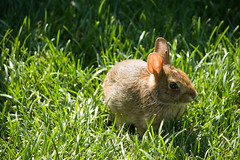 Baby bunny eating grass (NYBG) Tags: new york nyc travel flower nature beauty garden botanical natural blossom bronx michelle bloom destination nybg longo michellelongo