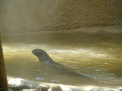 Giant Otter at the Los Angeles Zoo