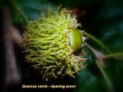 Quercus cerris (Bognr Jnos) Tags: fagaceae cupule quercuscerris csertlgy acornfruit makkterms cserfa