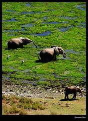 Elephants family - Amboseli (Giovanni Gori) Tags: africa trip morning wild vacation holiday elephant landscape geotagged landscapes nikon kenya scenic safari viaggio vacanza paesaggio amboseli wildness d90 nikkor18200mmf3556gvr giovannigori
