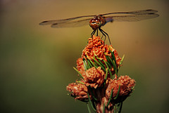 (579)  Ready for take off ..... (Franz St.) Tags: nikon dragonfly insects libelle rosepetal d80 thisphotorocks goldstaraward flickrestrellas franzst 100commentgroup dragondaggeraward artofimages flickraward vipveryimportantphotos