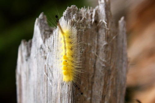 Definite Tussock Moth - Hodges #8314 (Orgyia definita) - 07