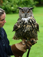 Moss the European Eagle Owl (Nick Efford) Tags: birds animals lakedistrict cumbria worldowltrust muncastercastle ravenglass eagleowl