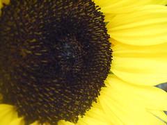 Sunfower Closeup