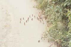 Red-legged Partridges (suttongoldenwedding) Tags: partridges
