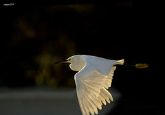 As The Sun Goes Down (raineys) Tags: california santacruz bird nature wings wildlife flight twinlakes snowyegret featheryfriday specanimal raineys impressedbeauty avianexcellence lightstylus