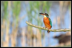 Female Kingfisher (Robert Geldard) Tags: bird nature nikon kingfisher bobcat birdwatcher fakenham d90 sculthorpemoor avianexcellence alittlebeauty