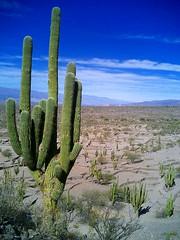 Cactus Ruinas de Quilmes