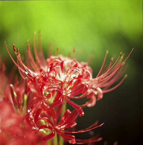 曼珠沙華 Lycoris radiata