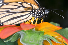 DSBG 10-4-2009 9 (G. H. Holt Photography) Tags: flowers orange macro butterfly nc belmont northcarolina monarch danielstowebotanicalgardens ghholt 1042009