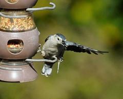 _DSC5780 (pnther60) Tags: backyard roanoke floraandfauna
