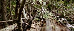 all lined up (Vlien*) Tags: autumn trees holland tree mushroom netherlands leaves forest bomen herfst nederland thenetherlands boom fungus toadstool paddenstoel bos noordholland paddenstoelen heiloo bladeren zwam zwammen heiloorbos