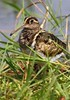 Painted Snipe by Jacques de Villiers