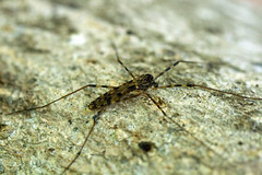 "C-Falls - Crane Fly • <a style=""font-size:0.8em;"" href=""http://www.flickr.com/photos/30765416@N06/5714988900/"" target=""_blank"">View on Flickr</a>"
