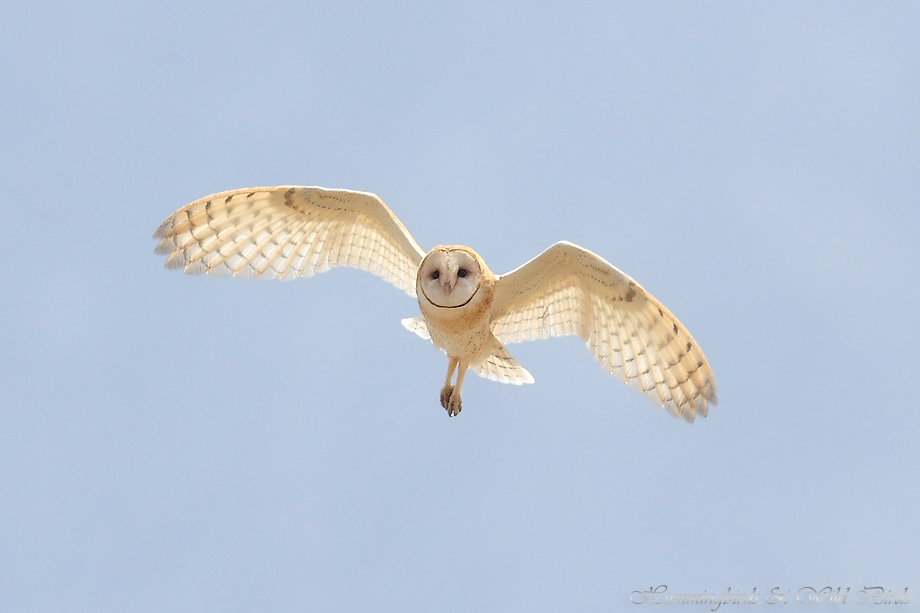 Barn-Owl-051107