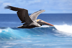 Brown Pelican in Flight