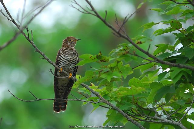 筒鳥 雌 Cuculus saturatus