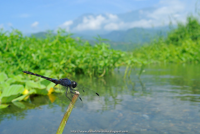 樂仙蜻蜓 - 木瓜山