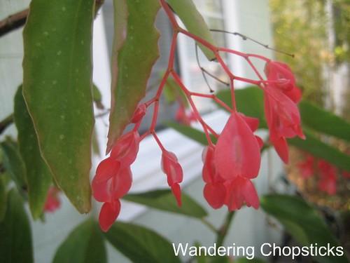 Begonias 4