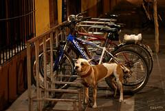Perro-puerto (supernova.gdl.mx) Tags: bicicleta perro mascota estacionamiento estacionado amarrado ciclopuerto perropuerto