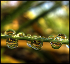 Tiger Eyes (ecstaticist) Tags: morning plant canada macro nature water grass bc natural bokeh obsession victoria drop casio dew refraction droplet hdr optic upsampled tonemapped exp505 1000drops