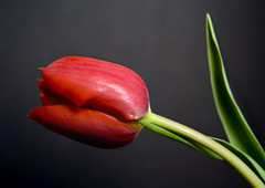 Tulip Fever (Theresa Elvin) Tags: red stilllife flower macro blackbackground spring tulip masterphotos theunforgettablepictures goldstaraward