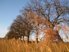 Schilf (kosare) Tags: winter bayern bavaria ebersberg egglburgersee