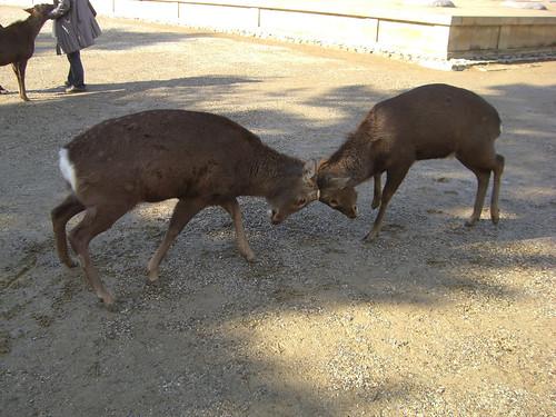 Deer Fight!