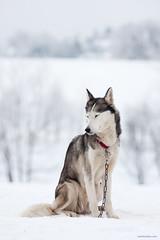 IMG_20090131_094656_3880 (nerdmeister) Tags: winter dog dogs race husky thuringia hund sled rennen sleddog schlittenhund sledgedog frauenwald