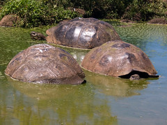 Giant Tortoises in water hole 03