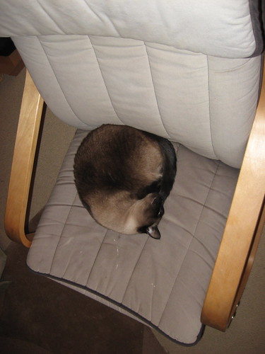 siamese cat sits in chair, curled up, tail and nose tucked in.