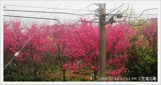 20090214三芝賞花趣 (5)